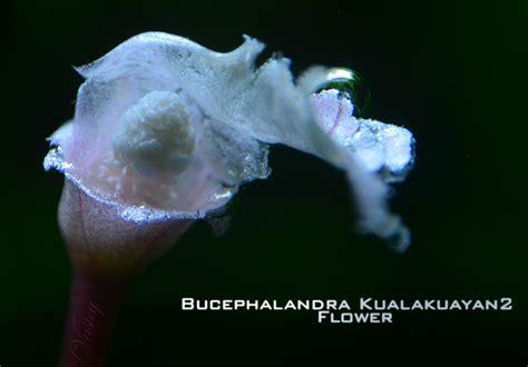 Sprei Green Borneo bucephalandra plants bucephalandra magical