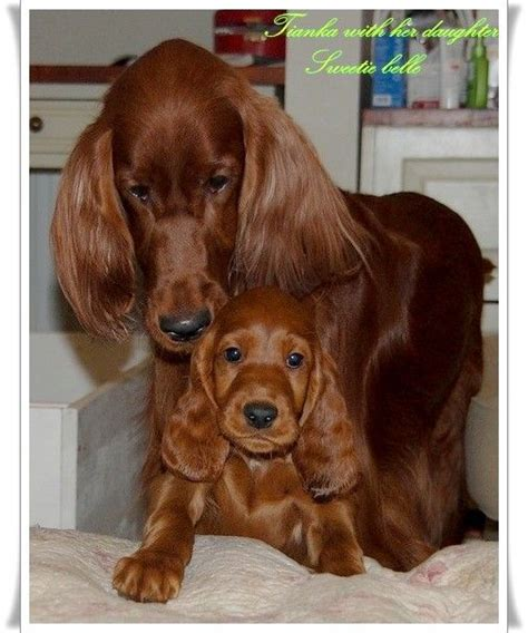 setter dog baby 93 best images about irish setter on pinterest irish