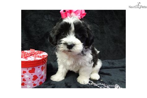 havanese puppies in missouri clara havanese puppy for sale near southeast missouri missouri 2ef44df0 c9b1