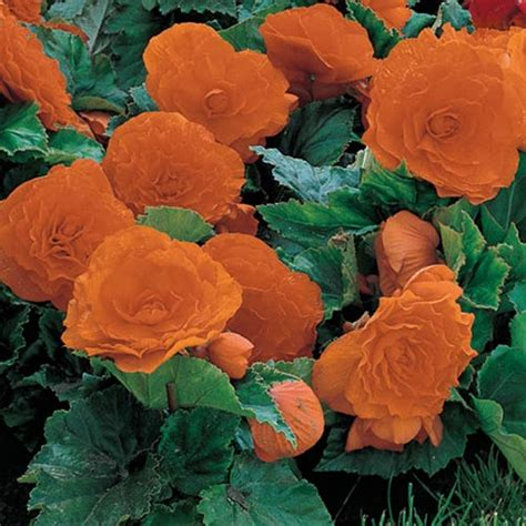 deer resistant non stop begonia orange