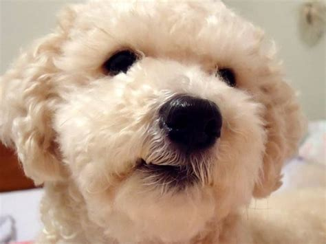 alimentazione barboncino barboncino cani taglia mini scopriamo il