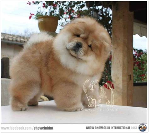 fuzzy chow chow puppy best 25 chow chow puppies ideas on chow chow dogs best puppy chow image