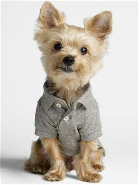 yorkie terrier clothes yorkie puppys and products on