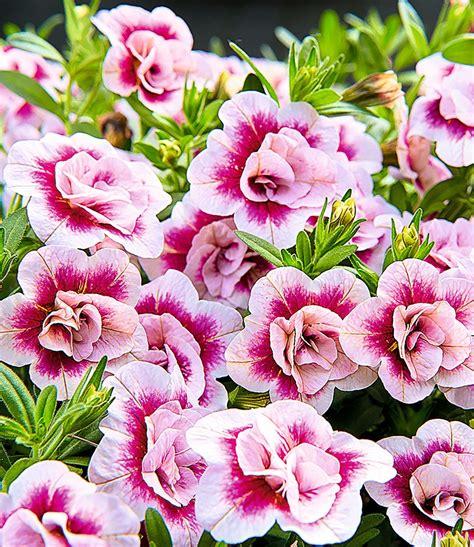 pflanzen shop zaubergl 246 ckchen 180 minifamous 174 pinktastik 180 3