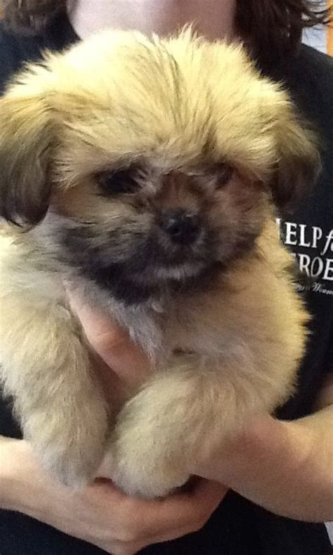 cutest shih tzu puppy 6 shih tzu x chihuahua puppies aylesbury buckinghamshire pets4homes
