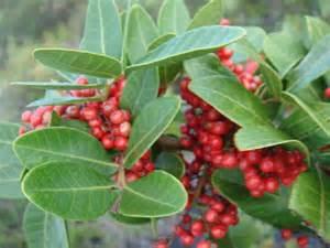 ハワイの自然と文化 クリスマス ベリーについて