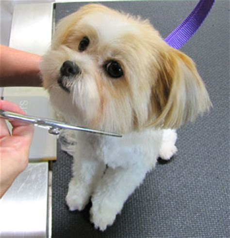 Grooming Small Dogs At Home Grooming At Home For Small Dogs Breeds Picture