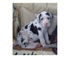 puppies for sale in ma 300 4 beautiful puppies for sale animals massachusetts announcement 31371