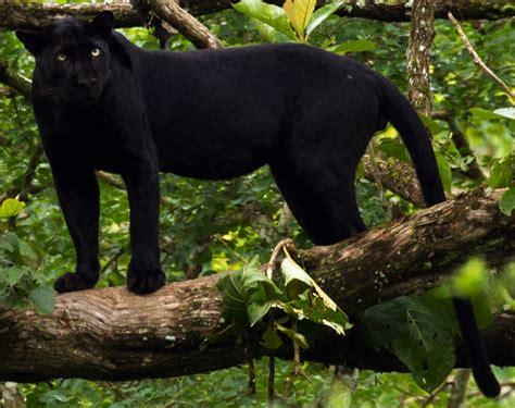 panthere noire animal wikipedia