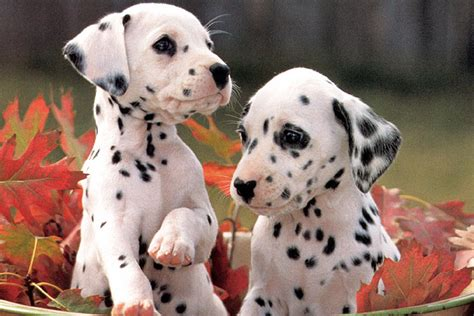 puppy dalmatian dalmatian puppies for sale bazar
