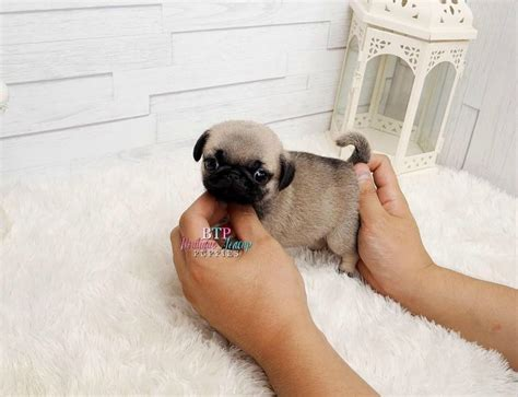 minature pugs mini pug images search