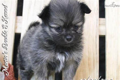 peekapom puppies peek a pom puppy for sale near williamsport pennsylvania 90dd6a49 8911