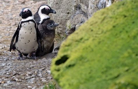 Pinguin Setbie the week in pictures animals february 22 february 28 2014