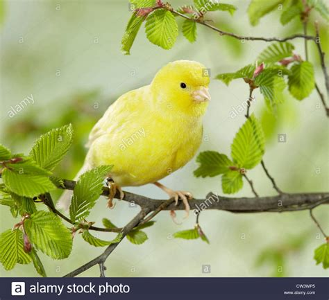 canaries bird yellow stock photos domestic canary yellow bird perched on a hornbeam twig