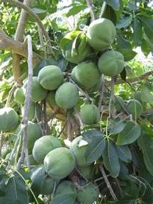 tropical fruit trees houston white sapote fruits on tree magnificent trees forests