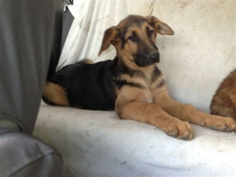 when do puppy ears stand up 17 best images about german shepherds rule on shelters and mans