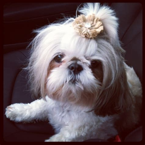 shih tzu bows shih tzu with burlap bow products i