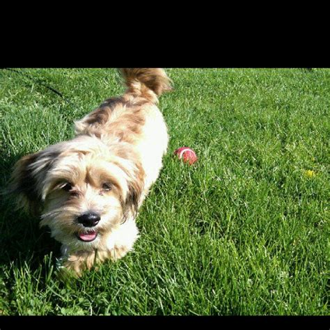 dachshund shih tzu mix scheeenie shih tzu dachshund mix doggies i want
