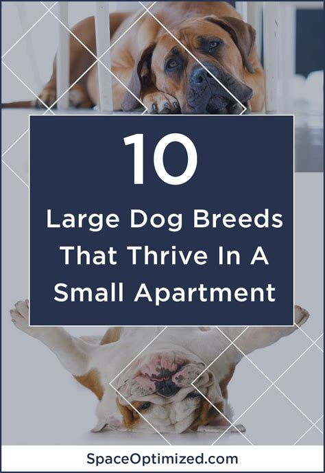 best large dogs for apartments small home microapartment tiny apartment