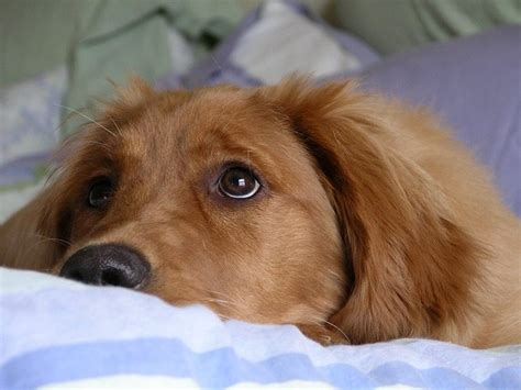 how to take care of golden retriever 5 amazing facts about golden retrievers