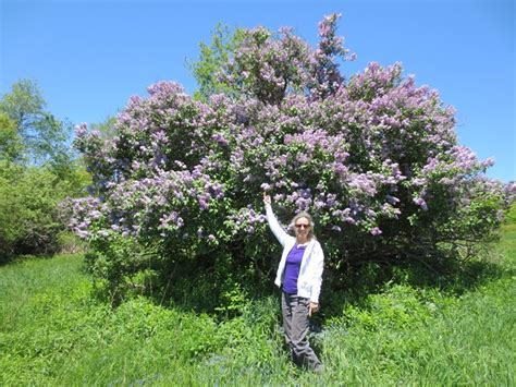 lilac tree lesson from a lone lilac tree everyday spirituality