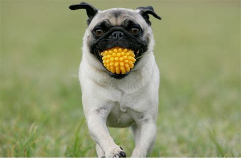 how to to play fetch how to teach a to fetch american kennel club