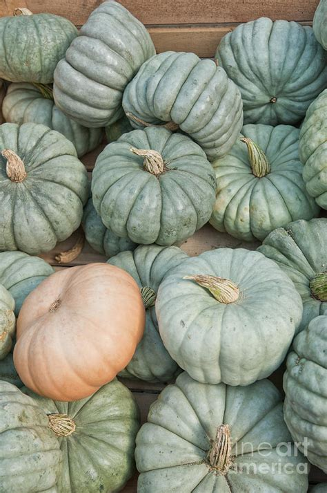 queensland blue queensland blue pumpkin gourds photograph by kitzman