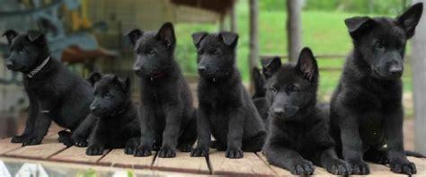 black german shepard puppies 17 best ideas about black german shepherds on