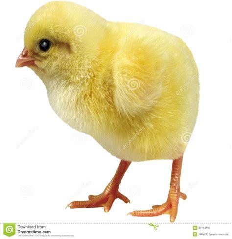 imagenes libres pollo pollo vivo en un fondo blanco imagen de archivo libre de