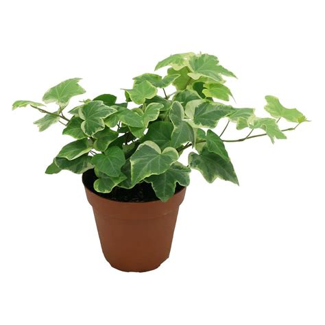 in door plants pot video three four plants argements delray plants hedera ivy in 4 in pot 90403 the home depot