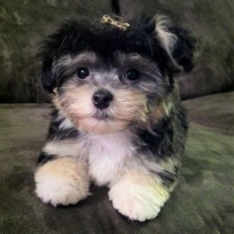havanese with puppy cut havanese puppy cut www imgkid the image kid has it