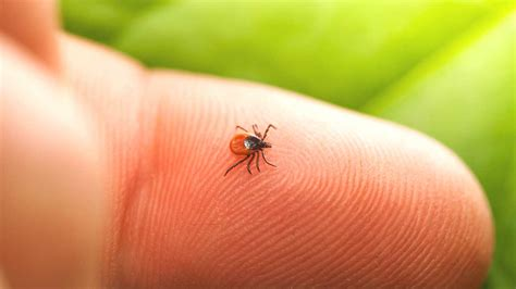 imagenes tick lyme disease prevention 48 hours after tick bite