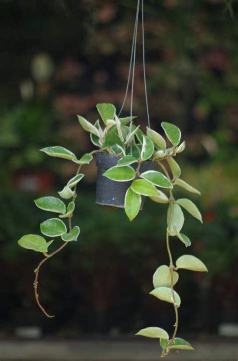 buy hoya variegated ivy plant    prices