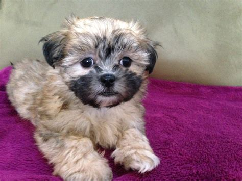 maltese shih tzu pups for sale mal shi or maltese shih tzu hybrid micheline s pups