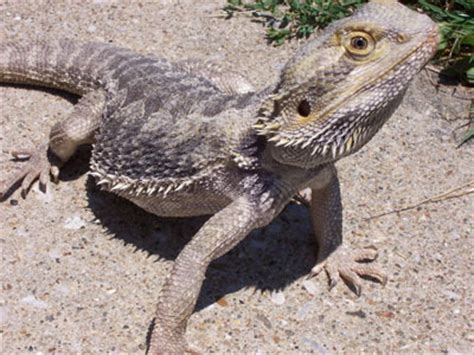 bearded dragon heat l wattage scales tails wings and things 5 best beginner reptiles