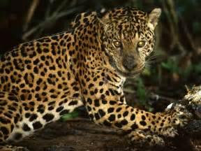Jaguar Food The Of The Jaguar