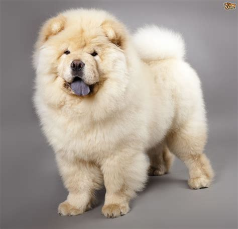 chow dogs chow chow breed information buying advice photos and facts pets4homes