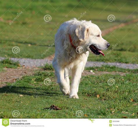golden retriever walking golden retriever walking royalty free stock photos image 35332988