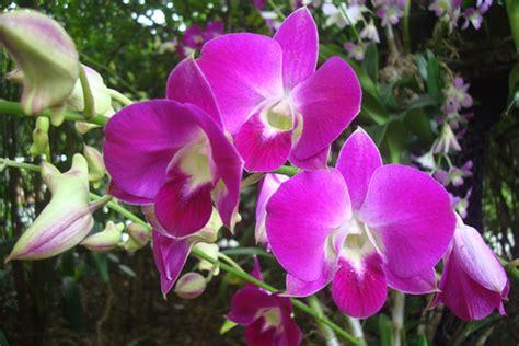 wallpaper bunga anggre orchid garden sri soedewi in jambi indonesia