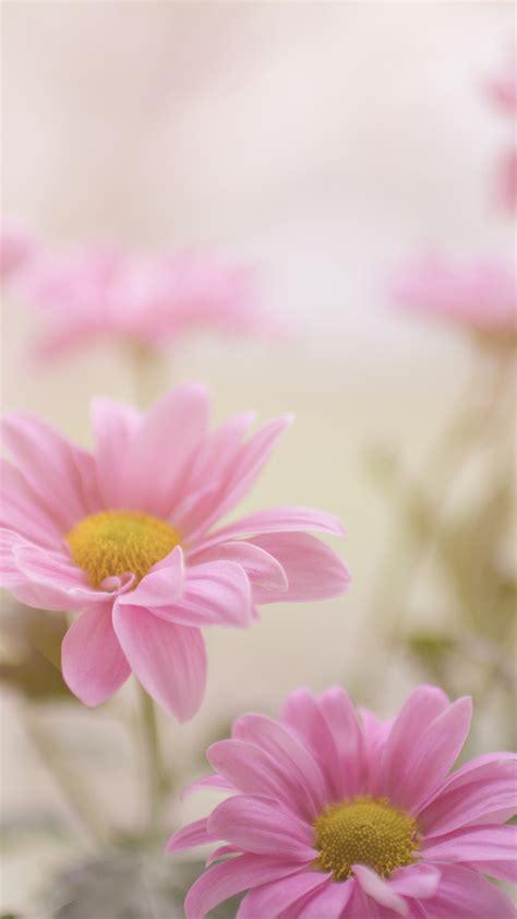 pink  daisy iphone wallpaper idrop news