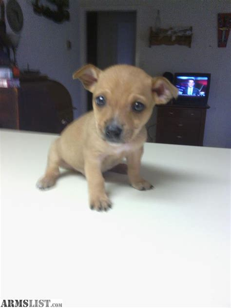 pitbull mixed with chihuahua puppies chihuahua pit mix breeds picture
