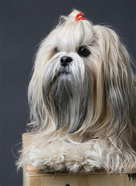 shih tzu and furbaby rescue ohio shih tzu dogs for sale furbaby rescue shih tzu breeds picture