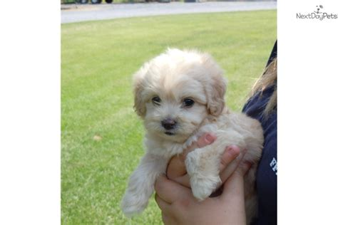 shih poo puppies for sale in va shihpoo shih poo shihpoo puppy for sale near winchester virginia