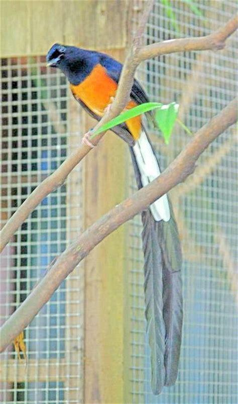 Burung Murai Batu Medan Rp 1 4jt shop habibur rohman 07622054 sore murai batu thailand