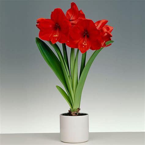 amaryllis red lion  ceramic pot buy amaryllis bulbs