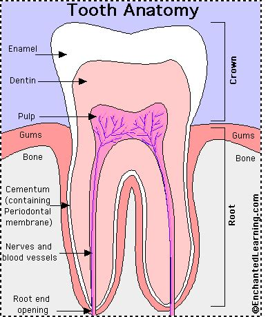 diagram of a tooth to label tooth anatomy enchantedlearning