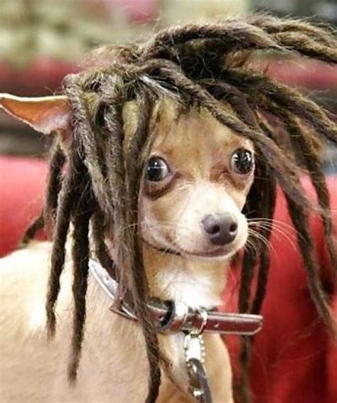 dog haircuts gone wrong dog haircuts gone really wrong ya mon