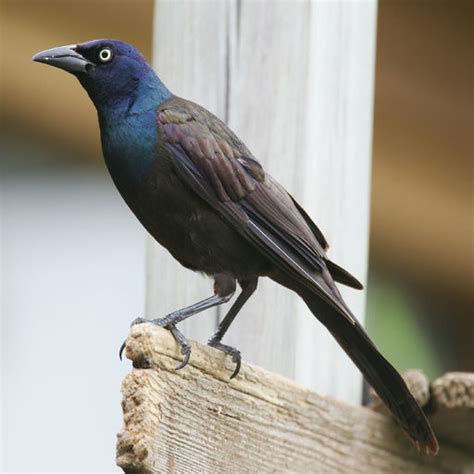 grackle bird calls high quality sound effects by michael
