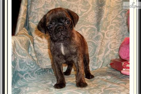 bugg puppies for sale bugg puppy for sale near tallahassee florida af80a4d4 44e1