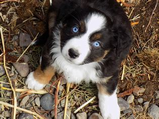 australian shepherd puppies for sale oregon view ad australian shepherd puppy for sale oregon prineville usa